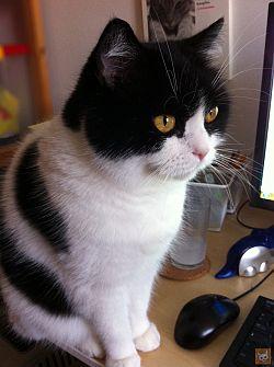 Katze auf Schreibtisch