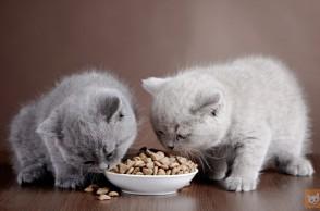2 graue Kätzchen fressen Trockenfutter