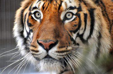 Sibirischer Tiger Porträt