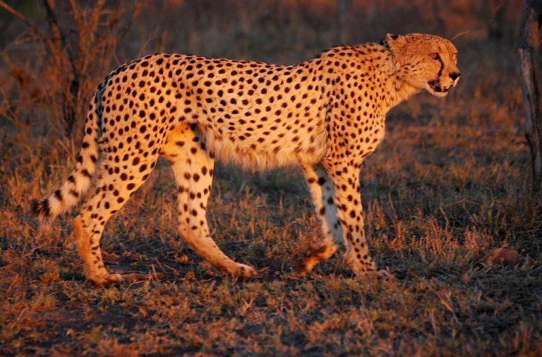 Wildcat Fotowettbewerb Gepard