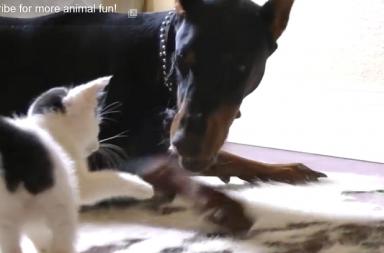 Kätzchen und Dobermann
