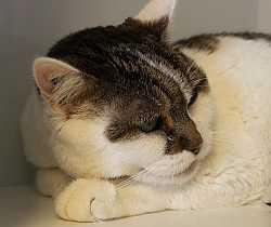 Grau-weiße Katze Dotty
