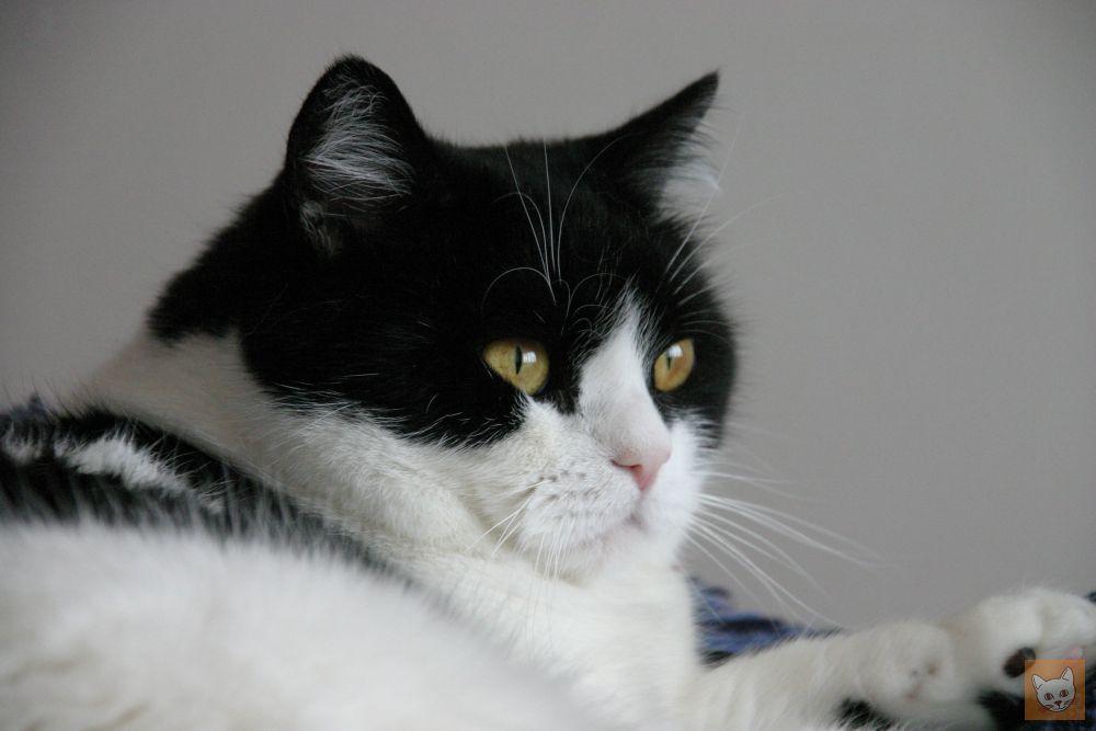 Schwarzweiße Katze Elvis