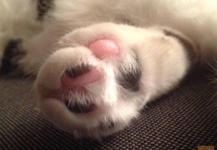 Katzenpfote Ballen