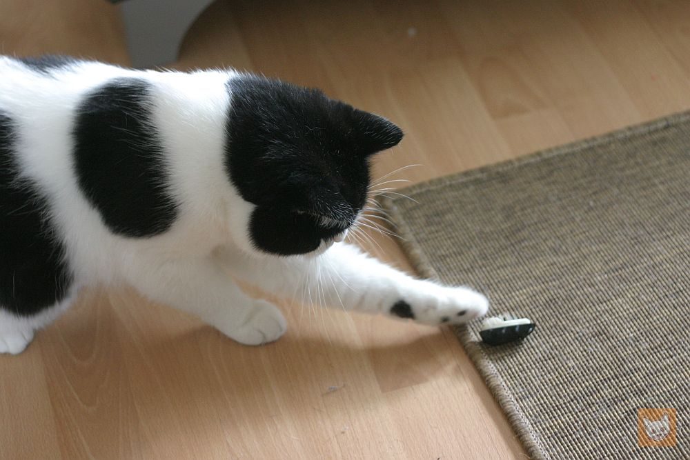 Katzenspiele: Katze spielt mit Bug