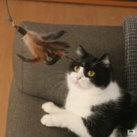 Katze spielt mit Federwedel