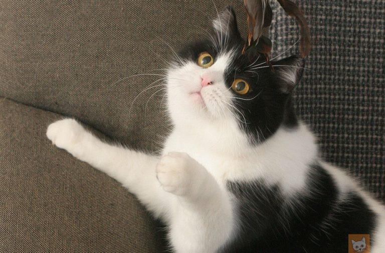 Katzen sind eher Rechtspfoter, Kater eher Linkspfoter