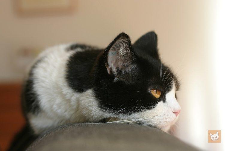 Katzenohren richtig pflegen