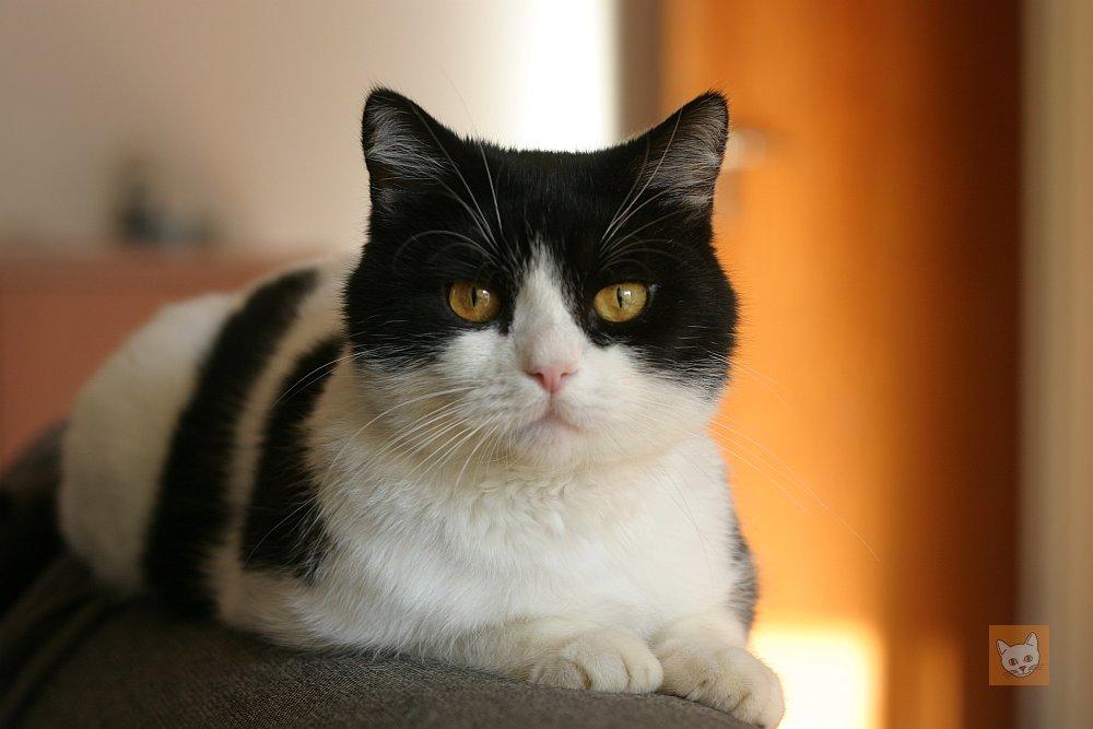 Schwarzweiße Katze auf Sofa