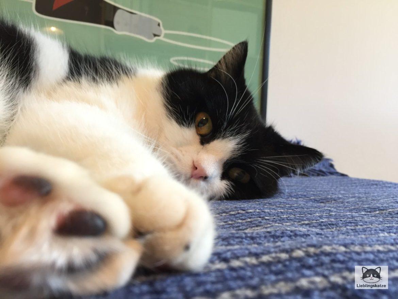 Katzensenioren: Kater auf blauer Decke