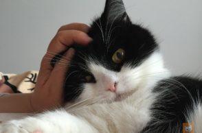 Katzen richtig streicheln: Schwarzweisse Katze wird getreichelt