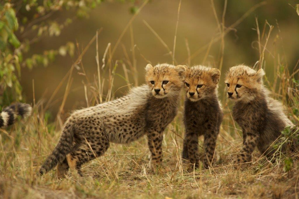 Maleika -Gepardenjungen