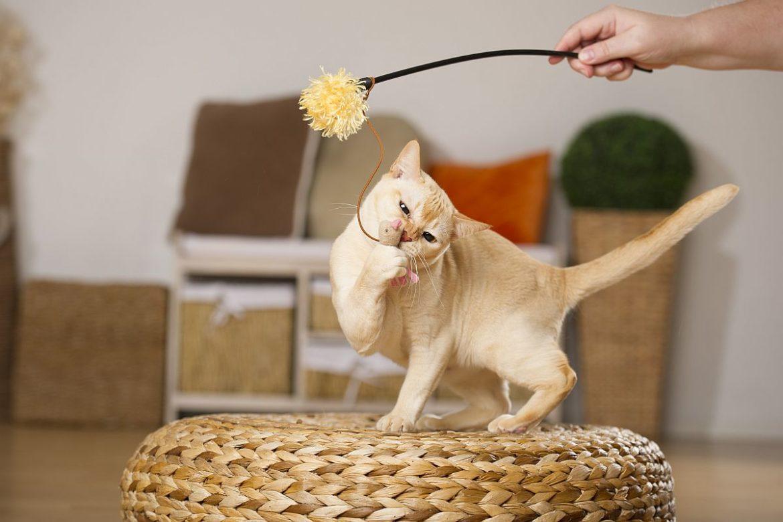 Übergewicht bei Katzen , Katze spielt