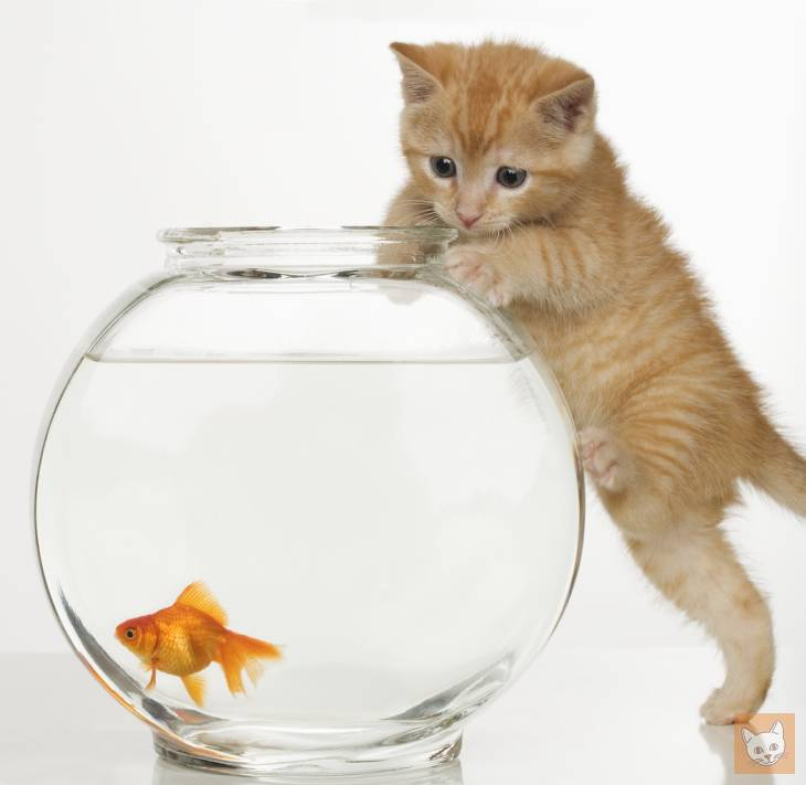 Kätzchen am Goldfischglas