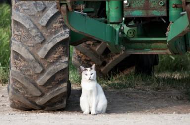 Katze vor Traktor