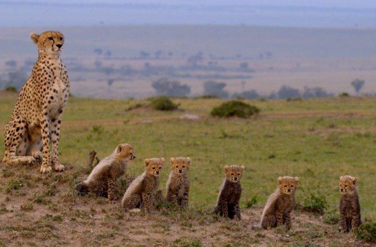 Maleika - Gepardin mit Jungen