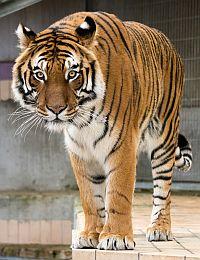 Tiger im Raubtier- und Exotenasyl Ansbach