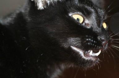 Schwarze Katze zeigt Zähne