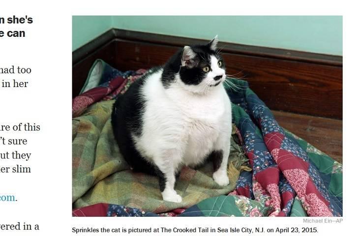Die Wahrscheinlich Dickste Katze Der Welt Lieblingskatze