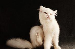 Läuse und Flöhe bei Katzen: Katze kratzt sich