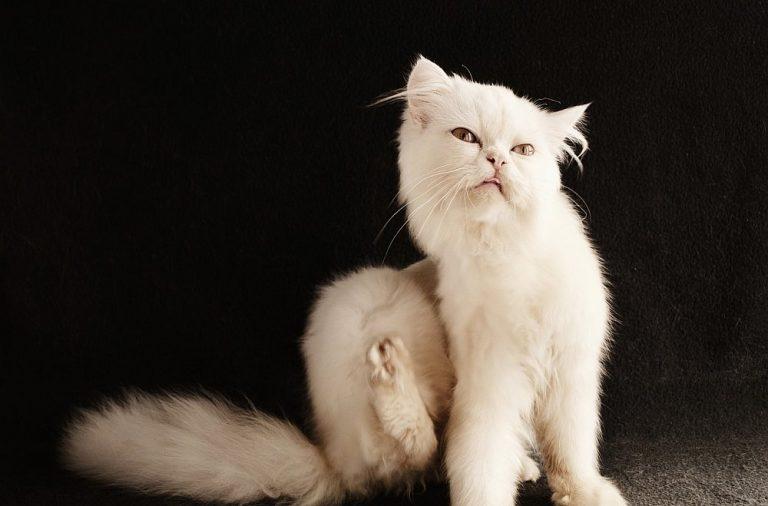 Hilfe, es juckt! Läuse und Flöhe bei Katzen erkennen und behandeln