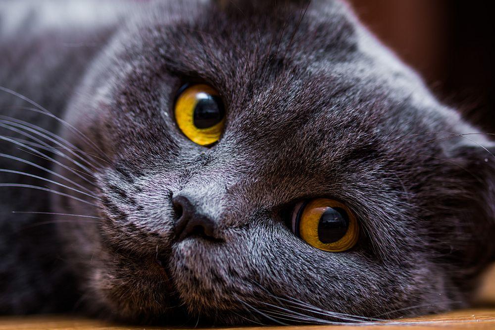 Weltkatzentag 2019: Britisch Kurzhaar